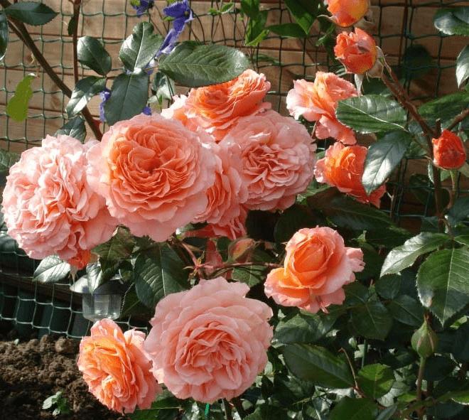 Роза Бельведер 3
