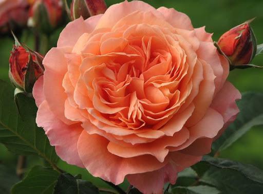 Роза Бельведер 4