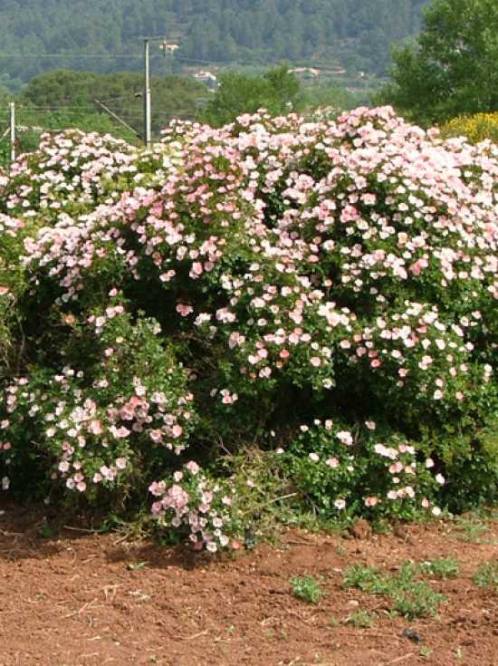 Роза Бинго Мейдиланд изображение 1
