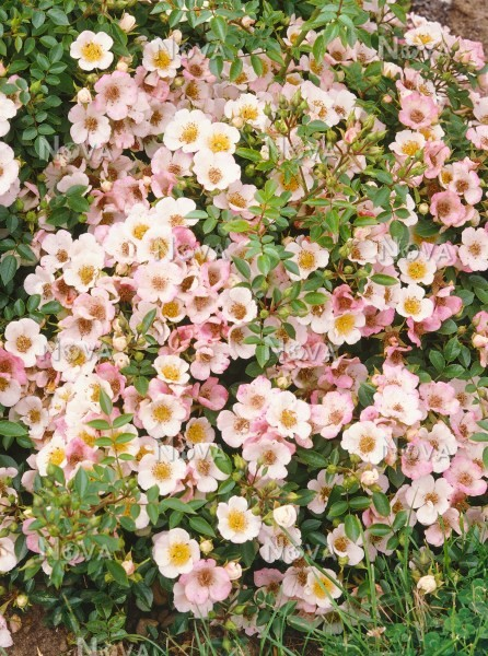 Роза Бинго Мейдиланд изображение 4