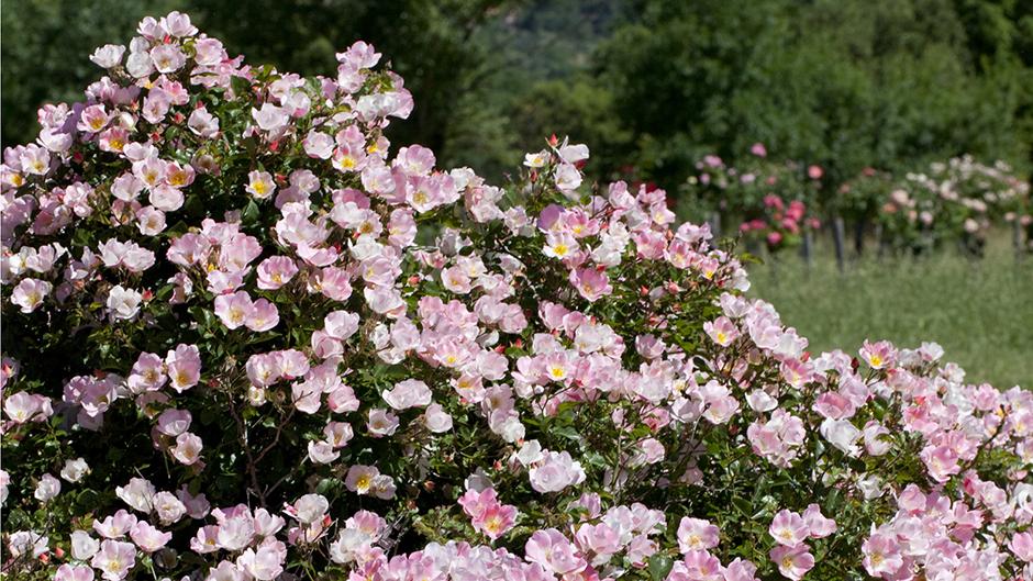 Роза Бинго Мейдиланд изображение 3