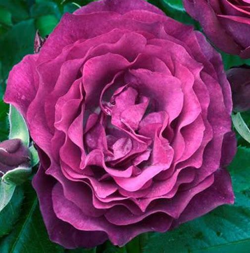 Роза Блю Эден 1