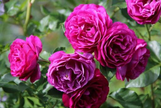 Роза Блю Эден 2