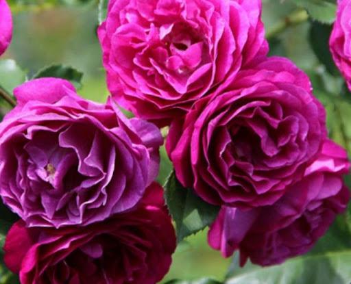 Роза Блю Эден 3