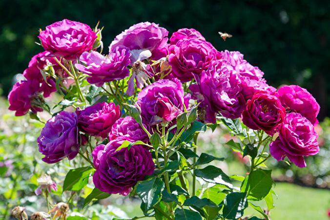 Роза Блю Эден 4