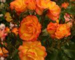 Роза Бонанза