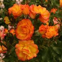Роза Бонанза 1