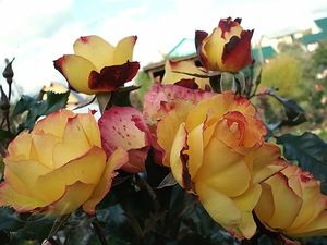 Роза Бонанза 2