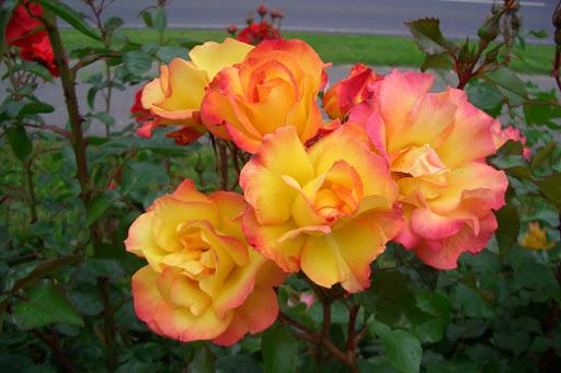 Роза Бонанза 4