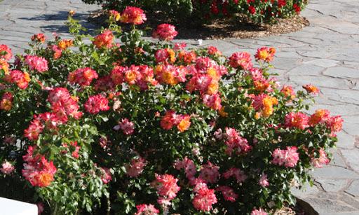 Роза Бонанза изображение 3