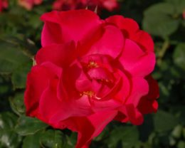 Роза Бургхаузен
