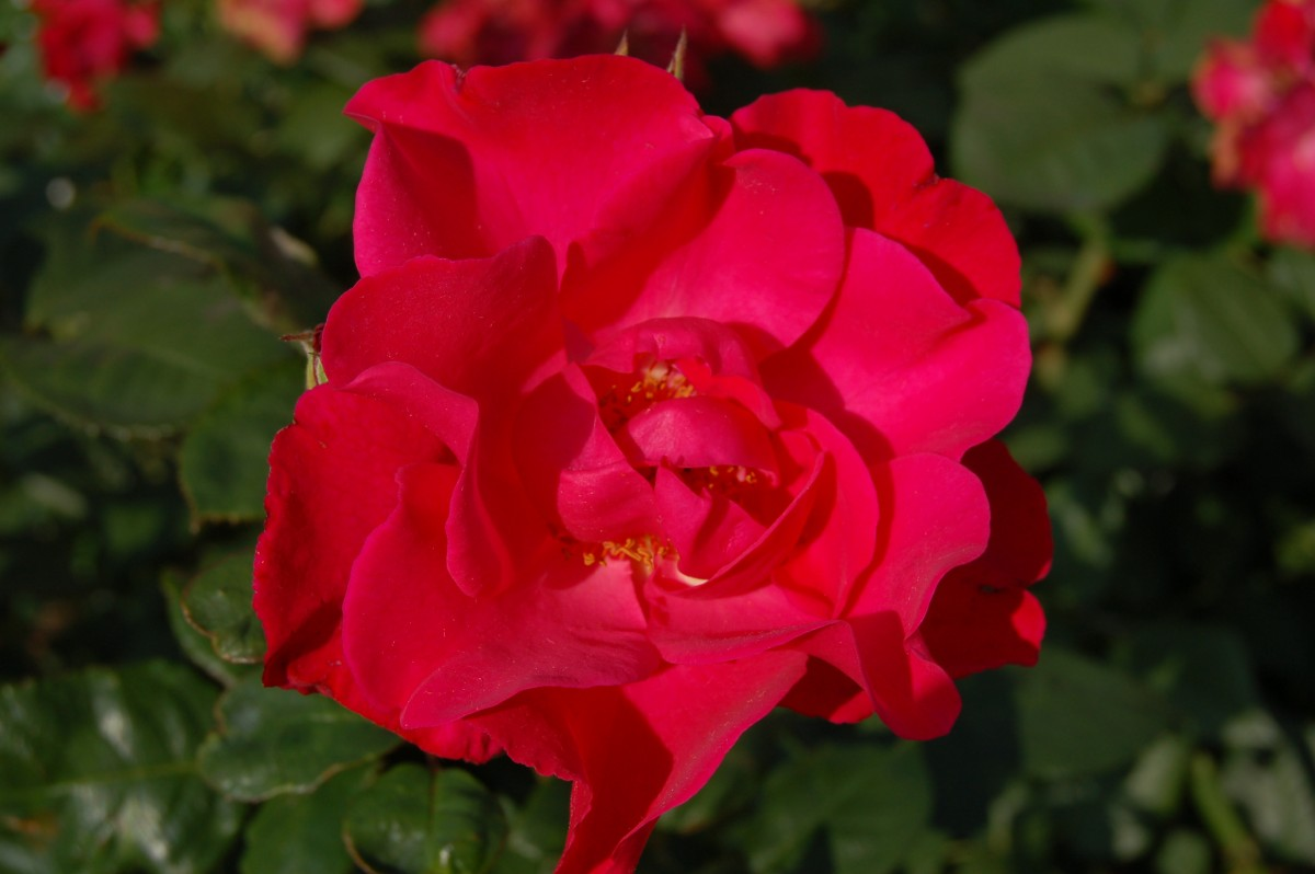 Роза Бургхаузен 1