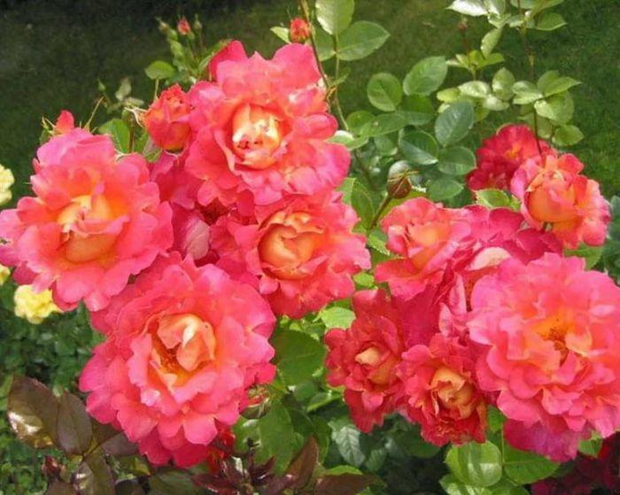 Роза Декор Арлекин 1