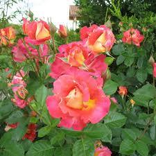 Роза Декор Арлекин 3