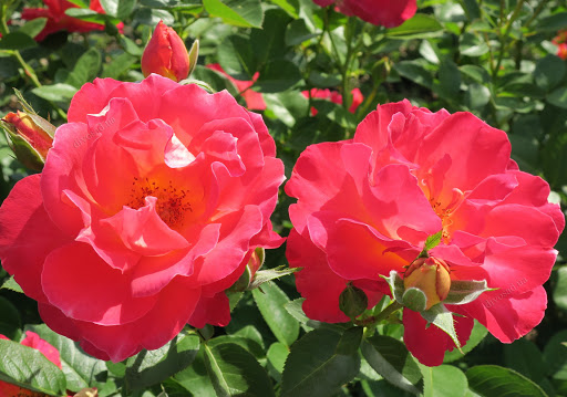 Роза Декор Арлекин 4