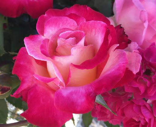 Роза Дик Кларк 1