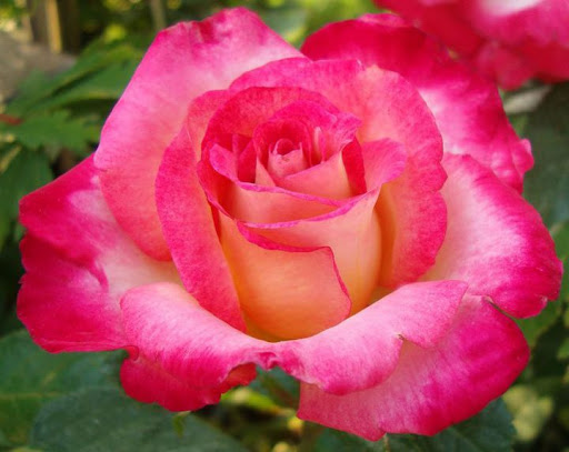 Роза Дик Кларк 2
