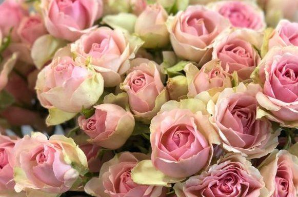Роза Динара 3