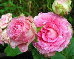Роза Динара