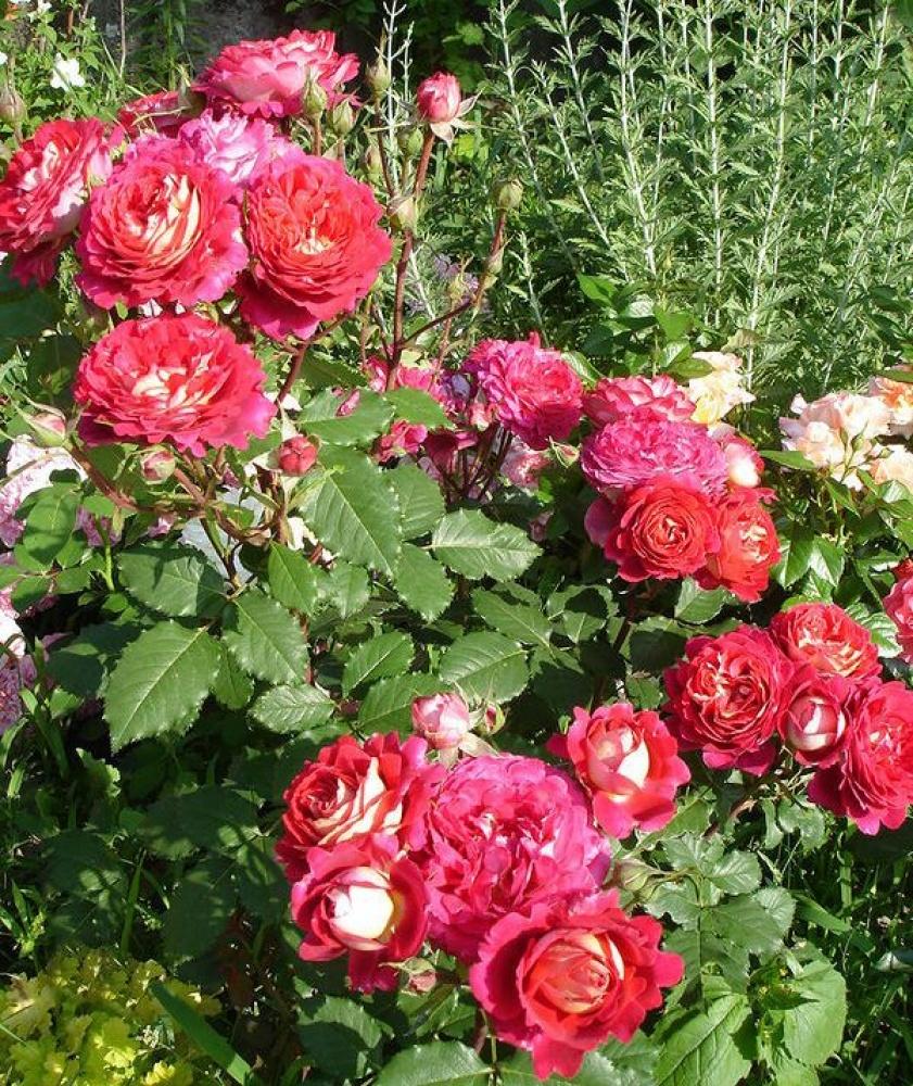 Роза Доктор Массад 4