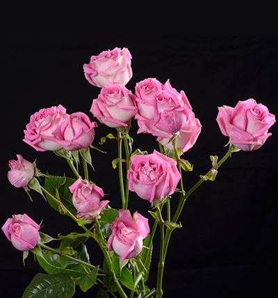 Роза Дуэт Фокси 2