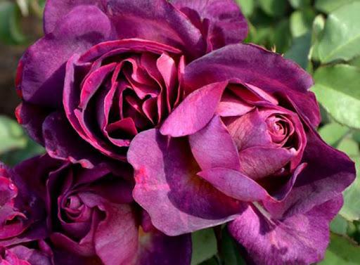 Роза Дьяблес Де Мер 1