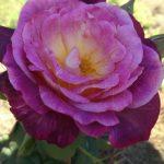 Роза Дьяблес Де Мер 3