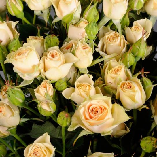 Роза Елена изображение 4