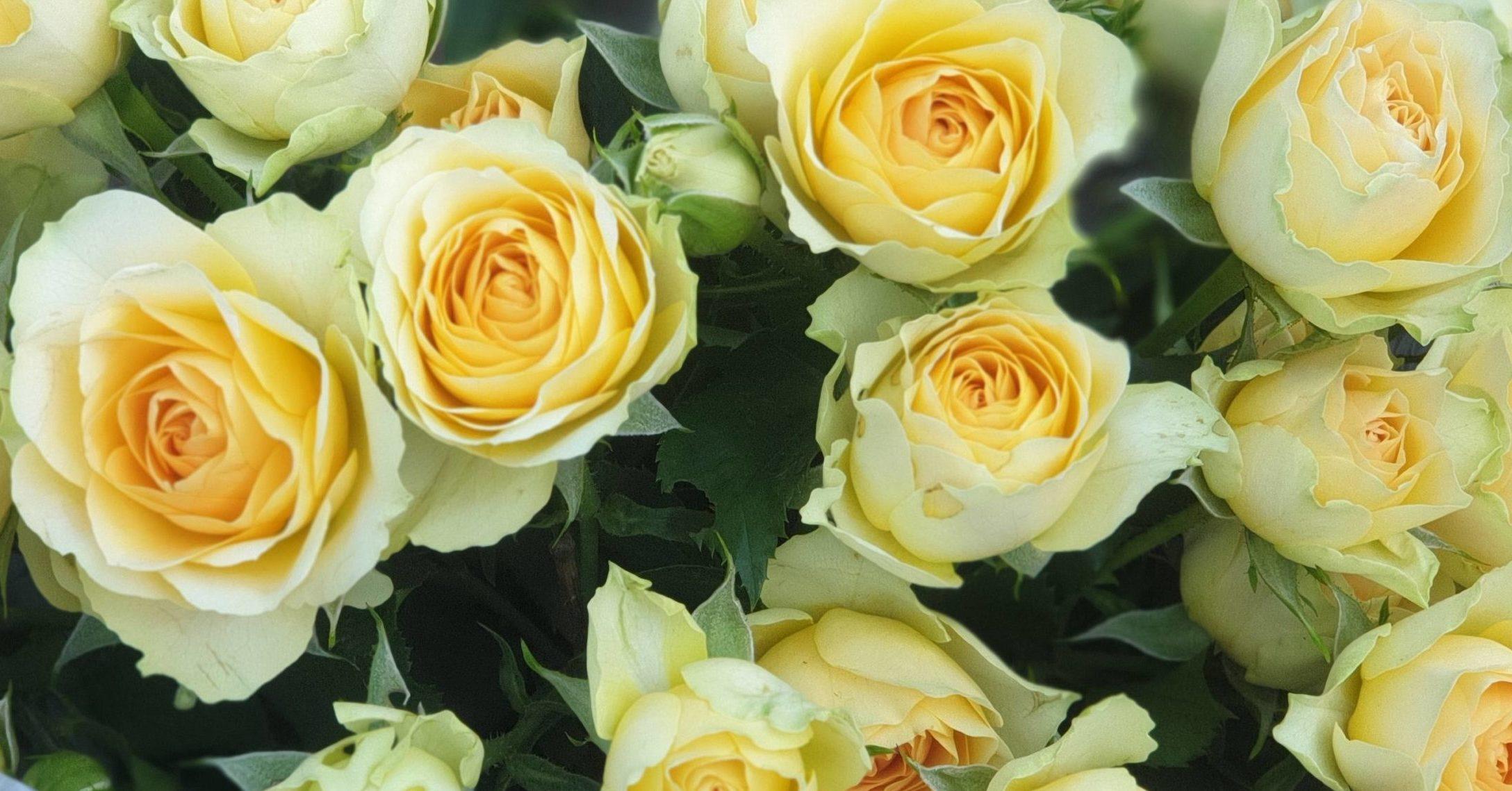 Роза Эстевана 1