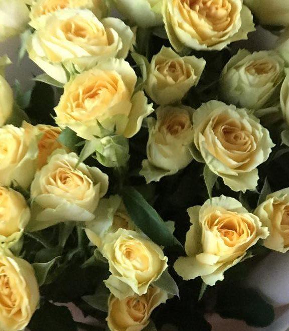Роза Эстевана 2