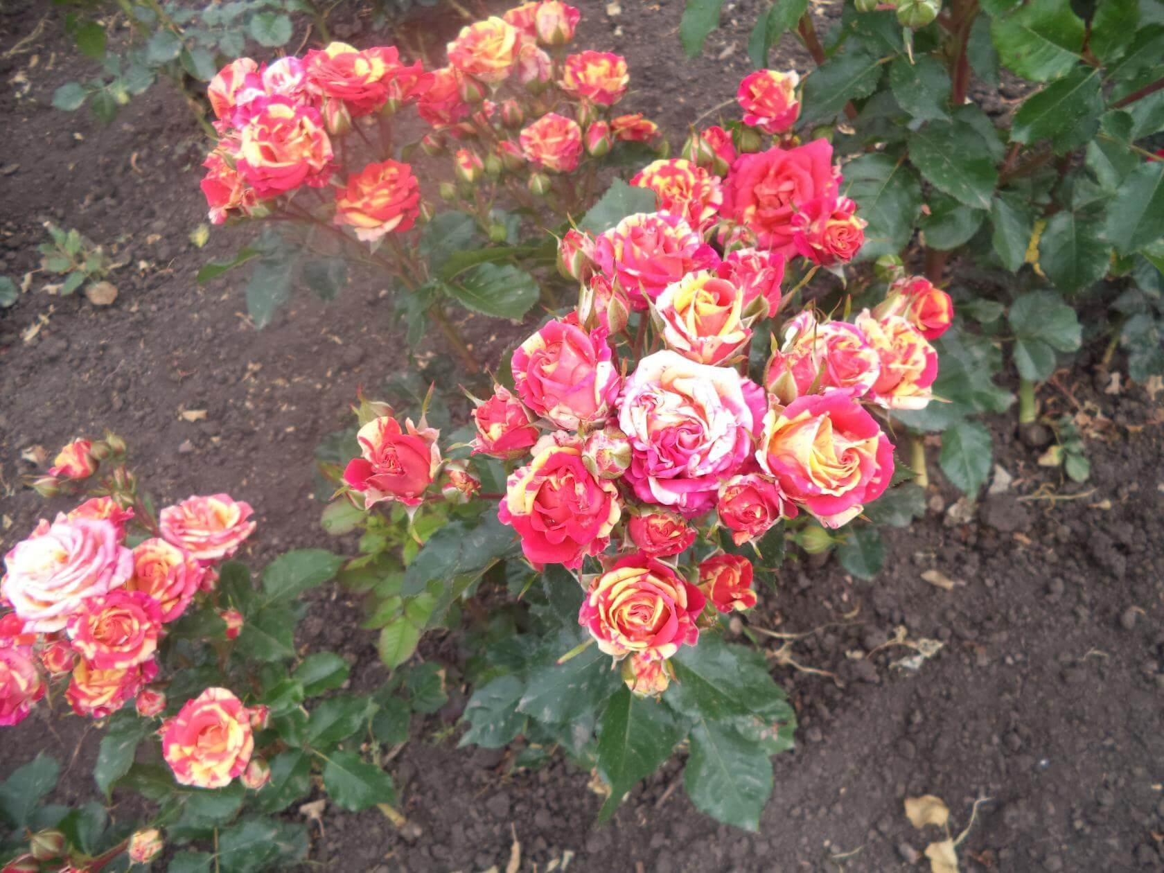 Роза Файер Флеш изображение 1