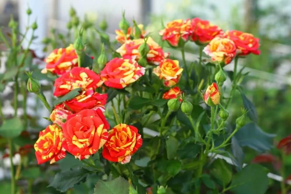 Роза Файер Флеш изображение 2