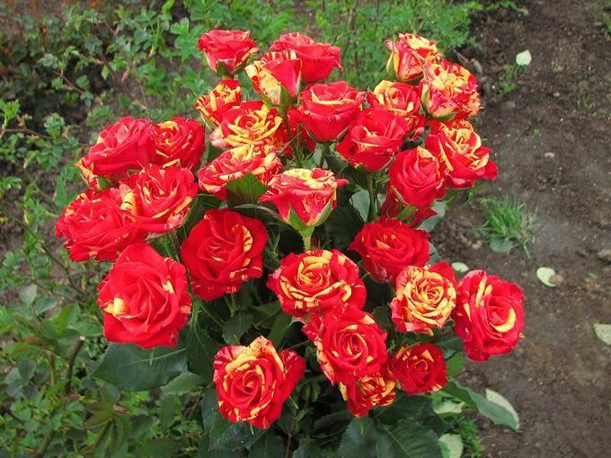 Роза Файер Флеш изображение 3
