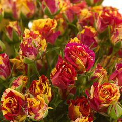 Роза Файер Флеш изображение 4