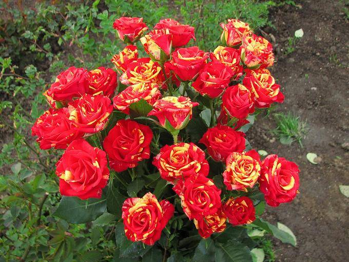 Роза Файер Воркс 1