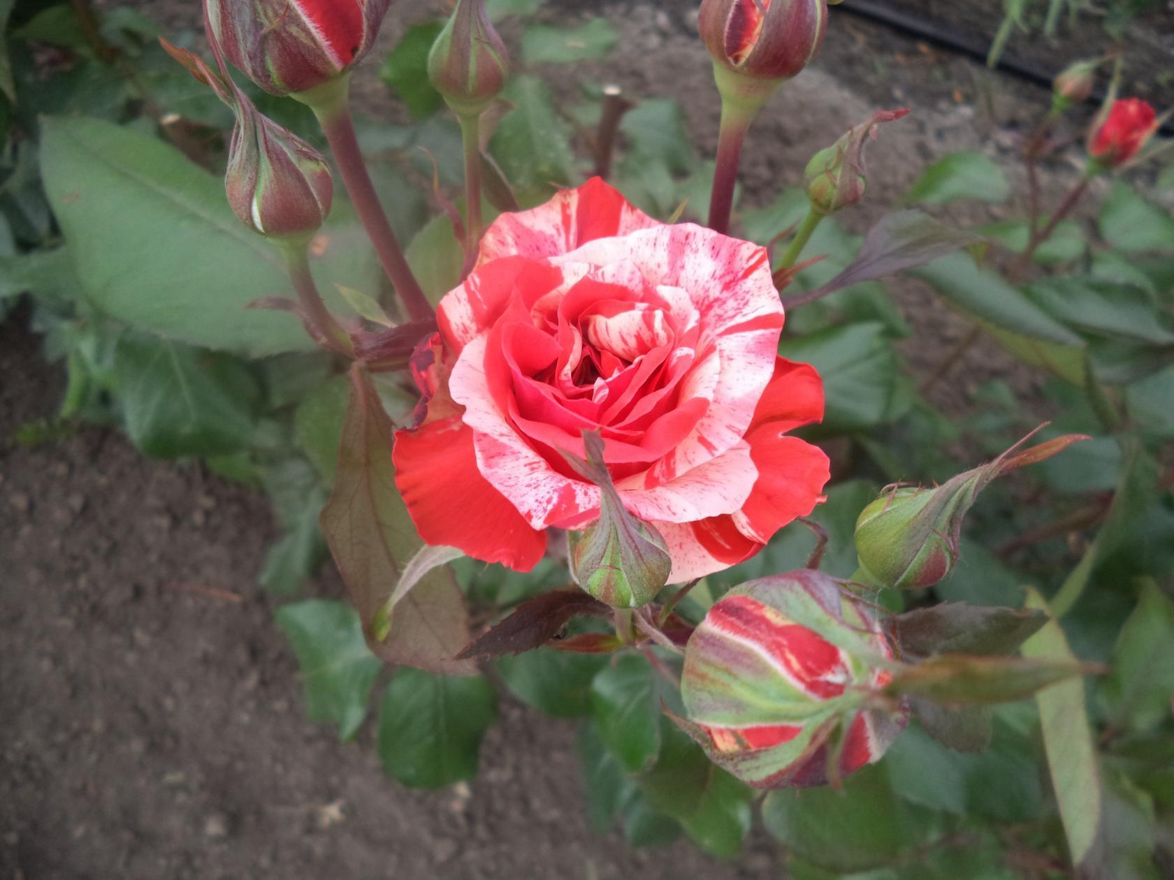 Роза Файер Воркс 3