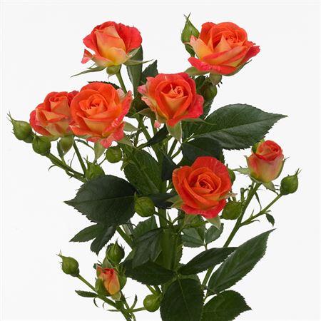 Роза Фийеста Бабл 3
