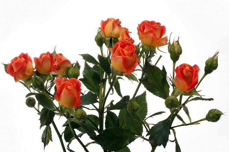 Роза Фийеста Бабл 2