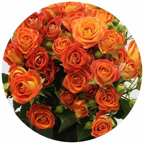 Роза Фийеста Бабл 1