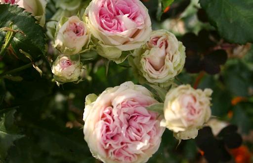 Роза Французская 1