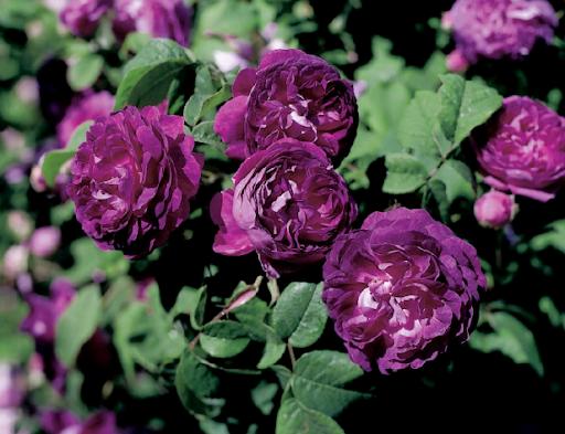 Роза Французская 2