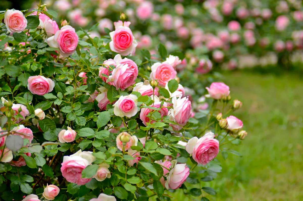 Роза Французская 3