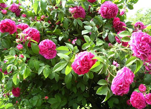 Роза Французская 4