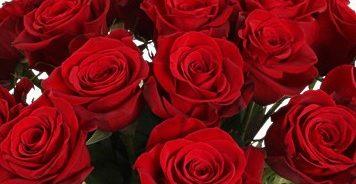 Роза Фридум Сиера 3
