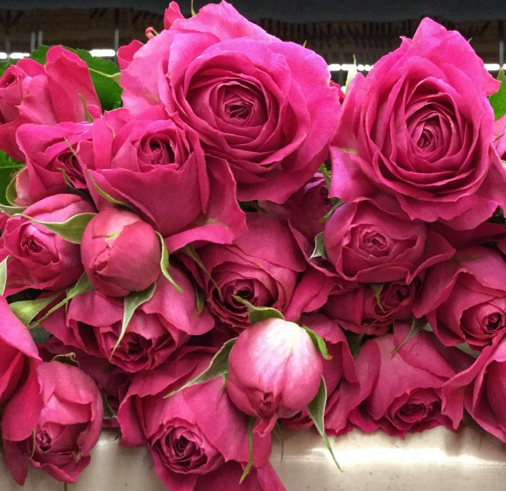 Роза Фуксия Лейс 1