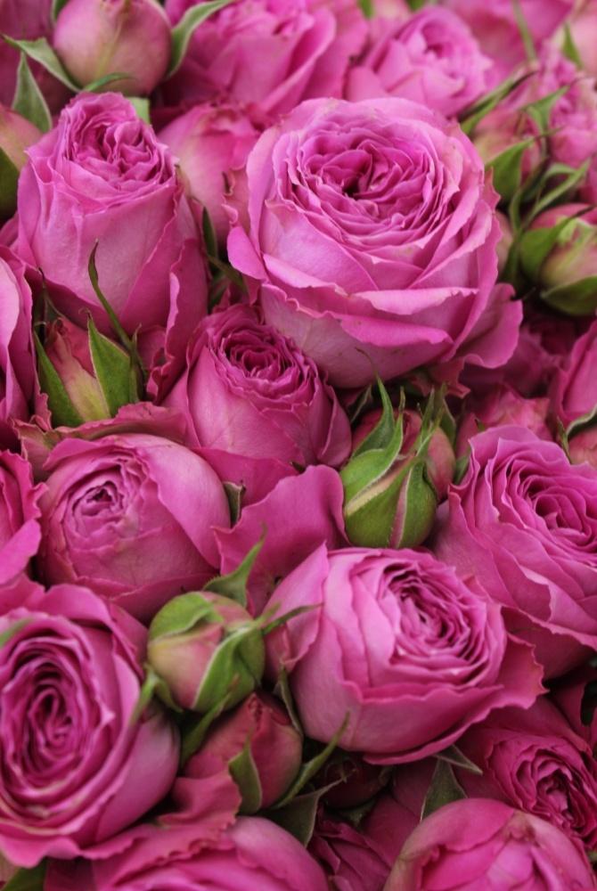 Роза Фуксия Лейс 2