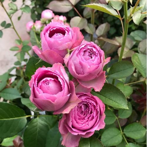 Роза Фуксия Лейс 4
