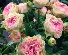 Роза Гелато