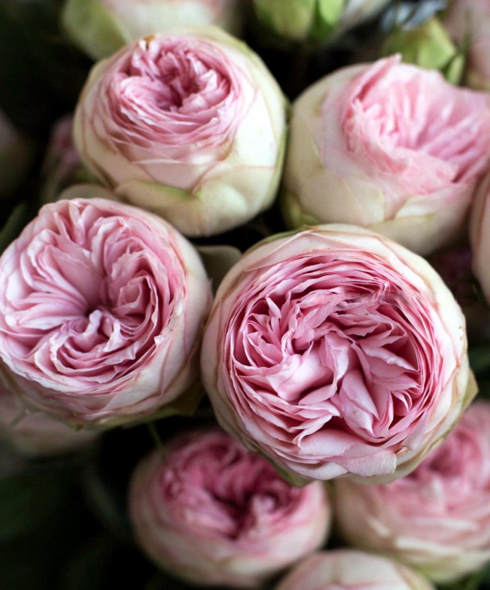 Роза Гелато 2