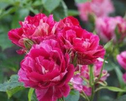 Роза Ги Савой